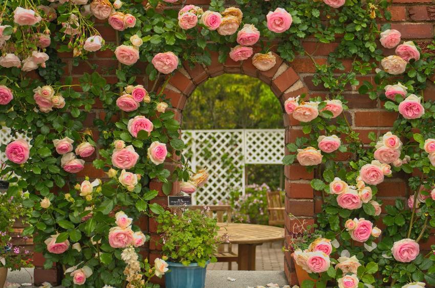 Kwiaty róża eden, eden rose w ogrodzie na murze, a także uprawa i pielęgnacja
