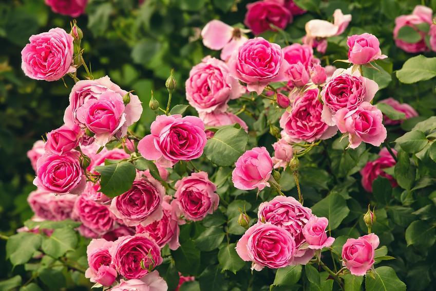 Piękne róże wielkokwiatowe w czasie kwitnienia, czyli ciekawe odmiany róż