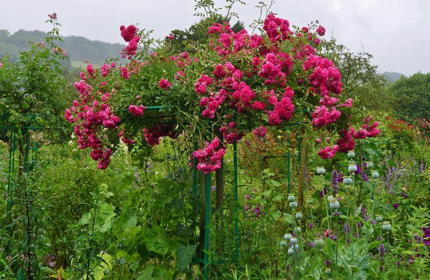 Róża na pniu w czasie kwitnienia, czyli róża szczepiona na pniu i jej cena