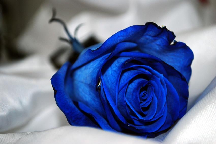 Pojedyncza niebieska róża na białym tle oraz uprawa i pielęgnacja