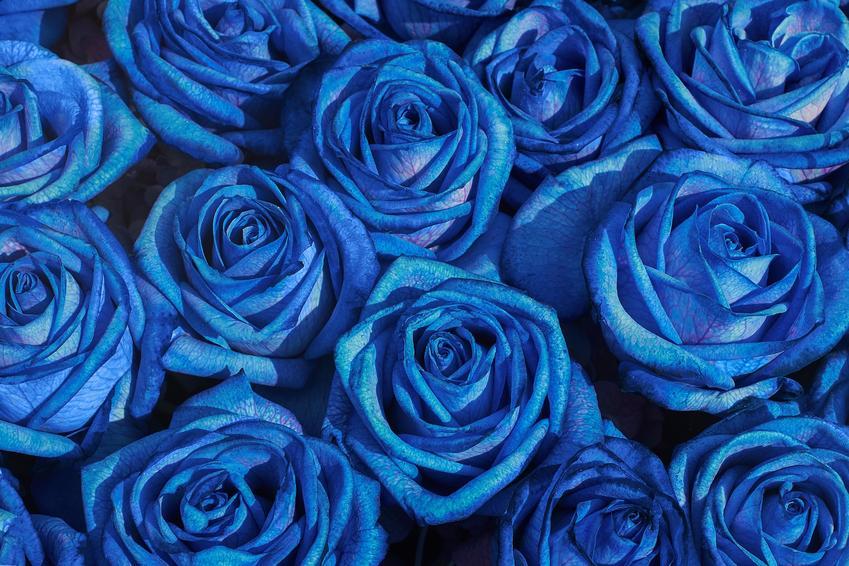 Bukiet niebieskich róż, czyli niebieska róża, róże wielkokwiatowe i ich uprawa