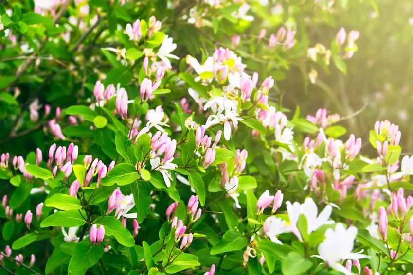 Wiciokrzew zimozielony w czasie kwitnienia, a także odmiany i uprawa w ogrodzie