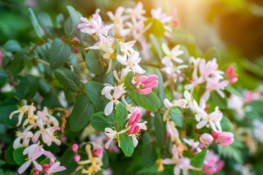 Wiciokrzew przewiercień w czasie kwitnienia, a także odmiany i uprawa