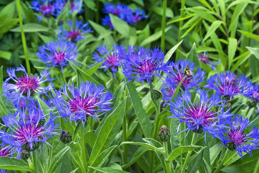 Kwiat chaber górski, Centaurea montana w czasie kwitnienia oraz zastosowanie i uprawa