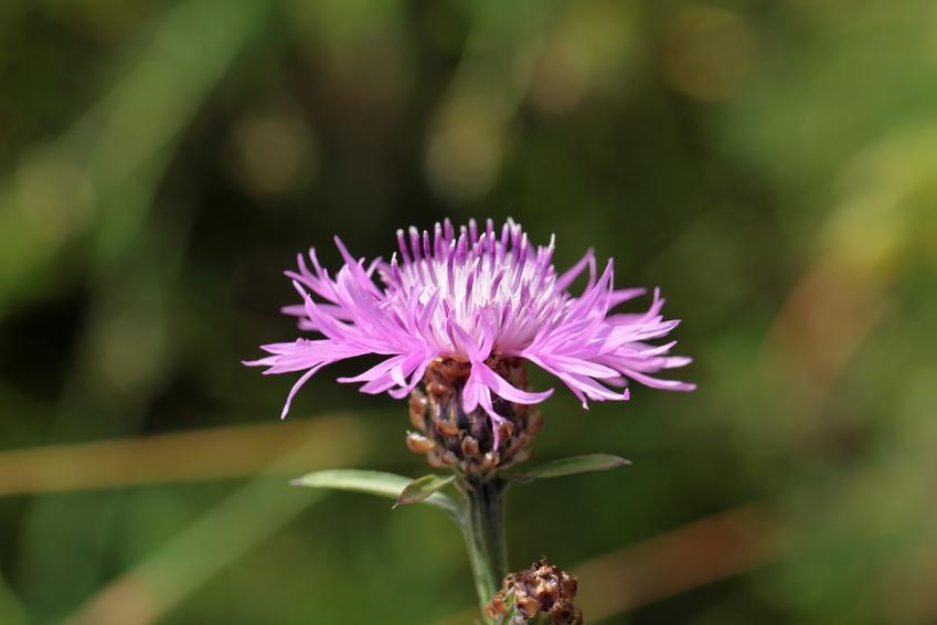 Chaber łąkowy, Centaurea jacea i zbliżenie na kwiat, a także uprawa i właściwości