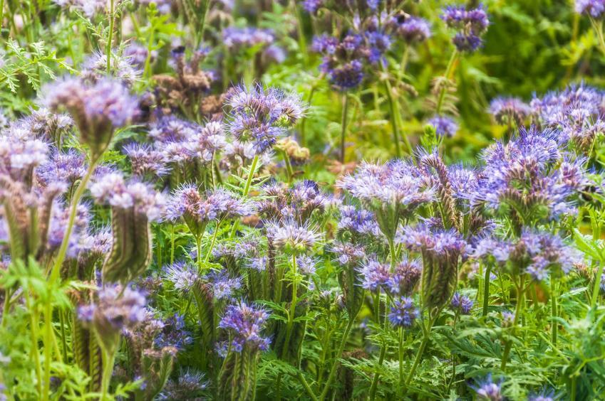 Kwiat facelia błękitna, Phacelia tanacetifolia w czasie kwitnienia oraz jej uprawa