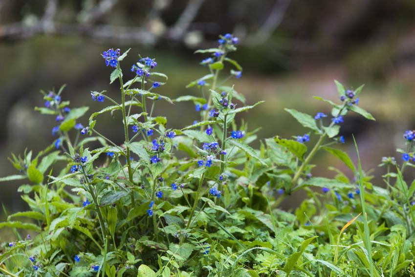 Farbownik lekarski, Anchusa officinalis w czasie kwitnienia, a także jego zastosowanie i właściwości