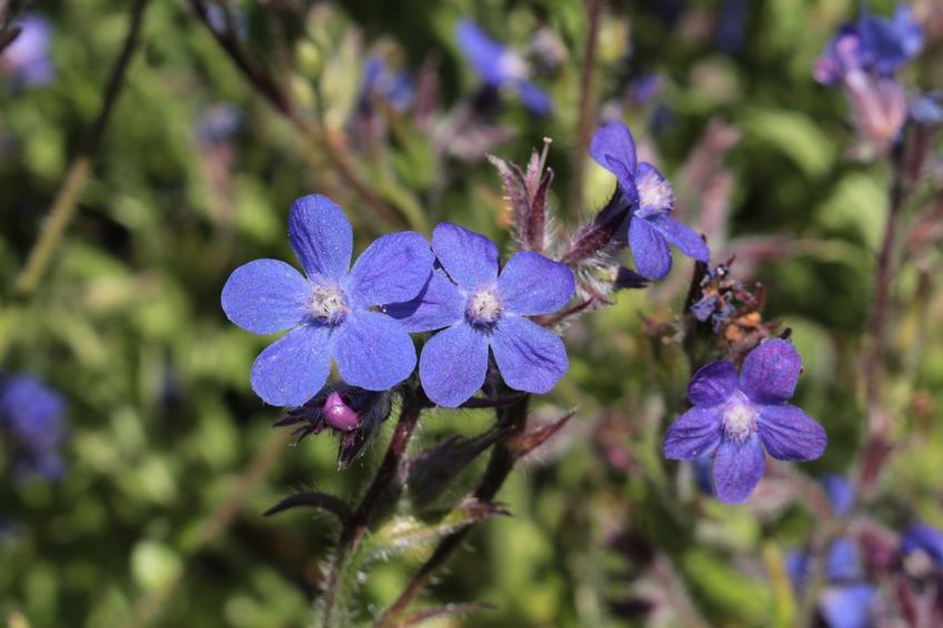 Farbownik lekarski, Anchusa officinalis i zbliżenie na kwiat oraz jego zastosowanie i właściwości