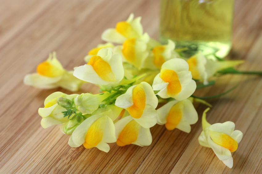 Cięta lnica pospolita, Linaria vulgaris na stole oraz jej wymagania i właściwości lecznicze