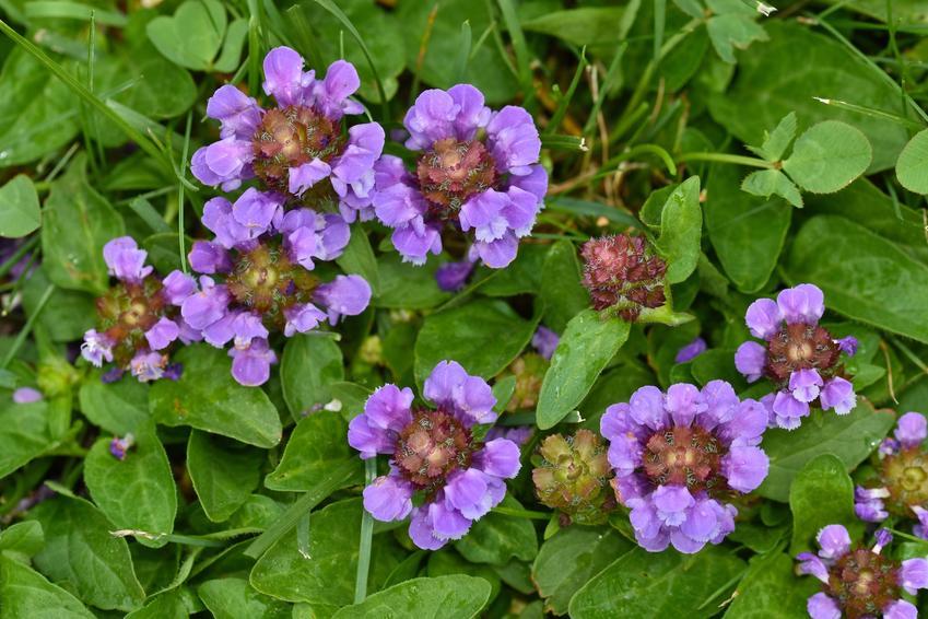 Roślina głowienka pospolita, prunella vulgaris w czasie kwitnienia i jej właściwości