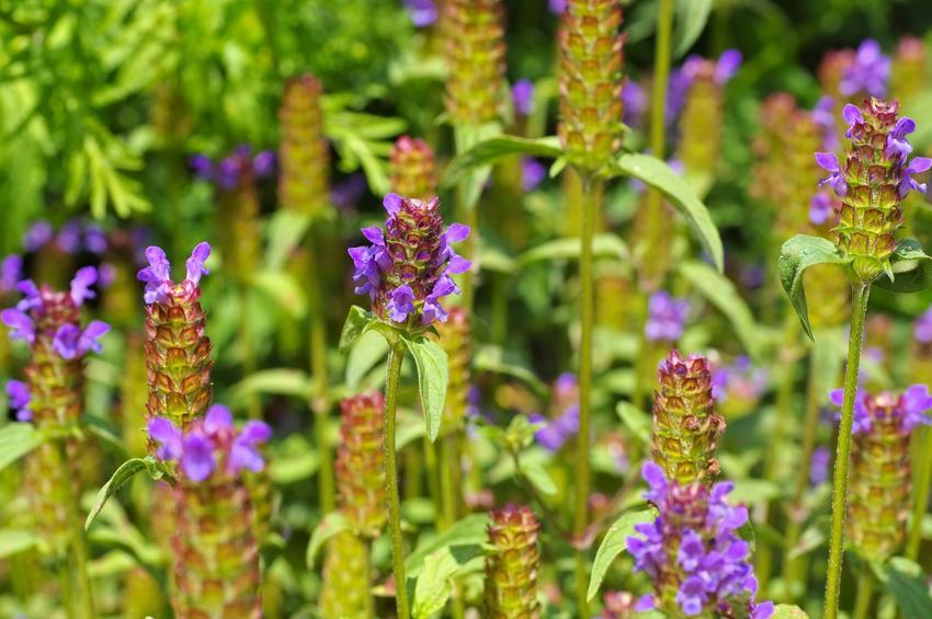 Kwiaty głowienka pospolita, prunella vulgaris z bliska oraz jej właściwości lecznicze