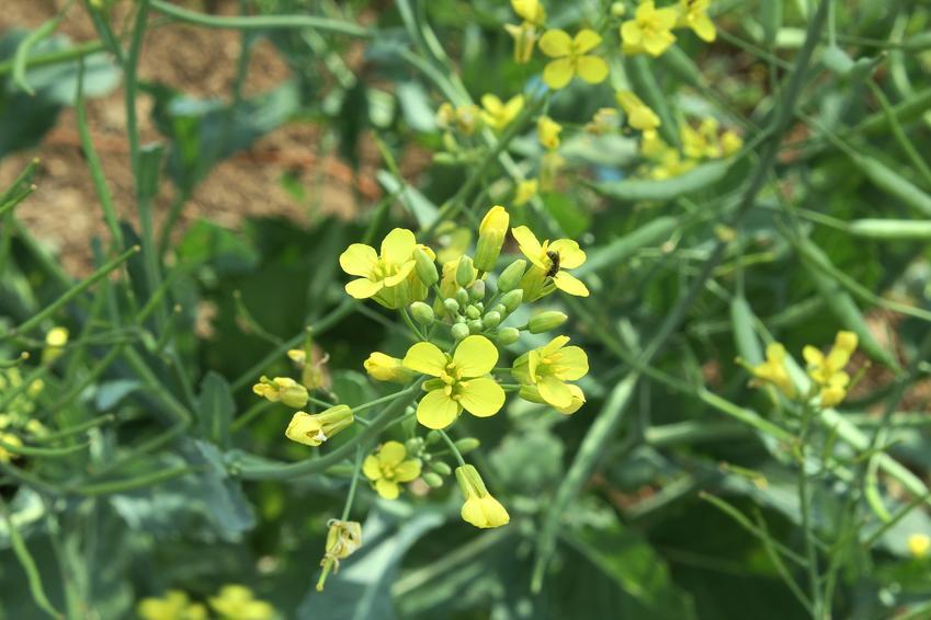 Roślina gorczyca biała, Sinapis alba w czasie kwitniania, a także jej zastosowanie i właściwości