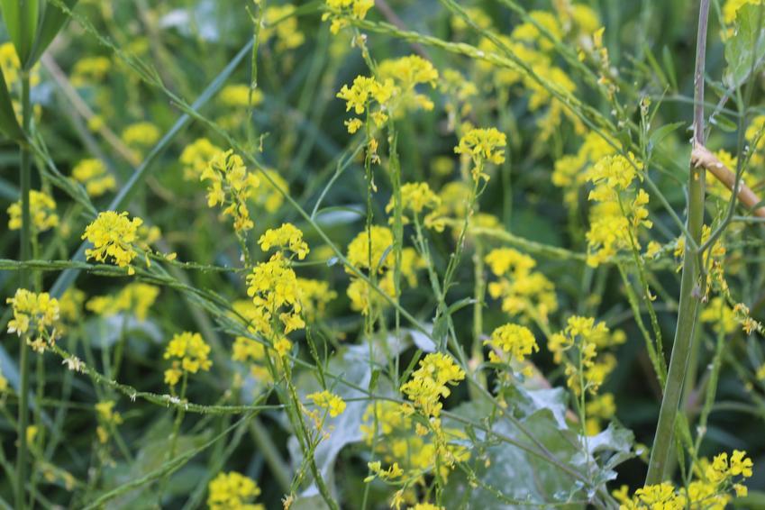 Roślina gorczyca czarna, Brassica nigra w czasie kwitniania, a także jej zastosowanie i właściwości