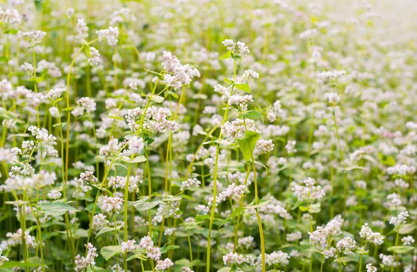 Kwitnąca gryka zwyczajna, Fagopyrum esculentum na polu oraz jej zastosowanie