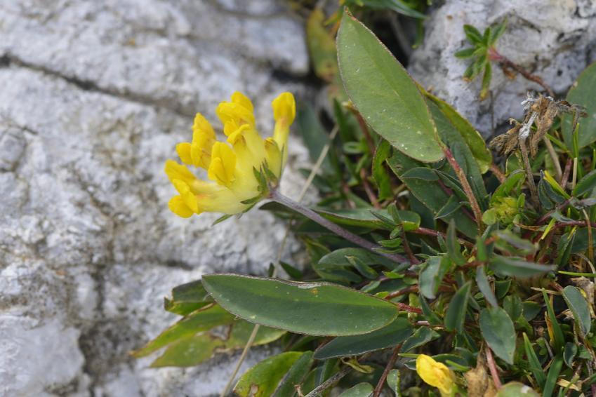Cięta komonica zwyczajna, Lotus corniculatus oraz jej uprawa i właściwości lecznicze