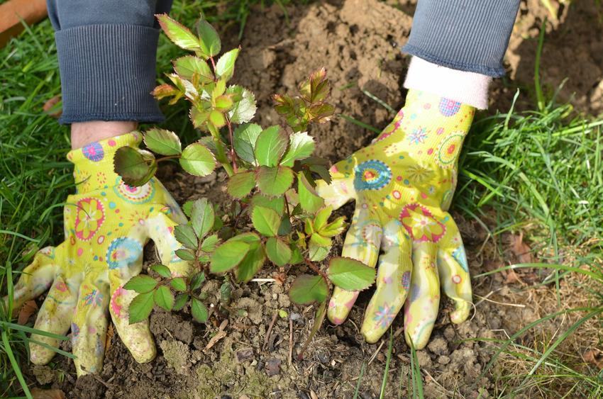Sadzonki róż wysadzane do ziemi, a także rozmnażanie róż krok po kroku