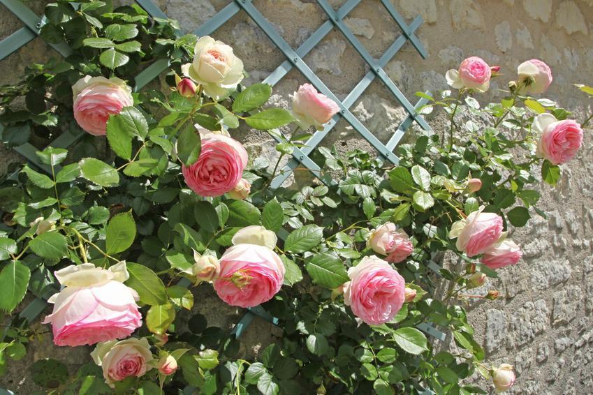 Piękne róże w czasie kwitnienia, a także rozmnażanie róż, sadzonki róż krok po kroku