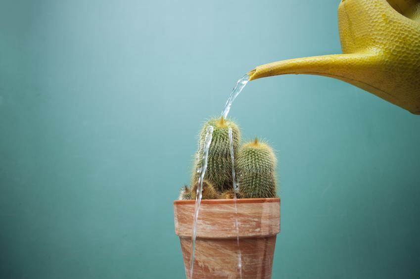 Podlewanie kaktusa konewką, a także porady, jak podlewać kaktusy