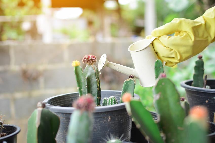 Podlewanie kaktusa w domu, a także porady, jak podlewać kaktusy doniczkowe