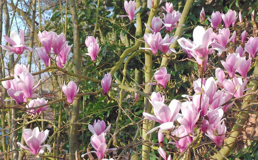 Magnolia w czasie kwitnienia w ogrodzie, a także cena za sadzonki magnolii