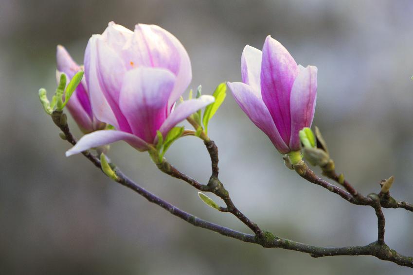 Magnolia i zbliżenie na jej kwiat, a także sadzonki magnolii i ich cena