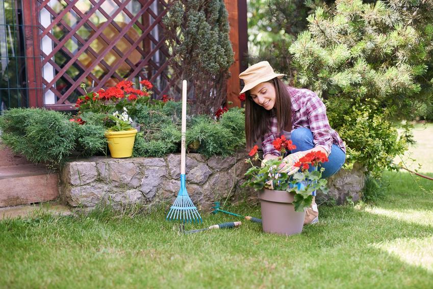 Kobieta sadząca pelargonie w ogrodzie, a także sadzonki pelargonii, rozsada pelargonii