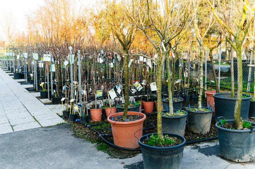Drzewka jabłoni gotowe do posadzenia oraz sadzonki jabłoni i cena