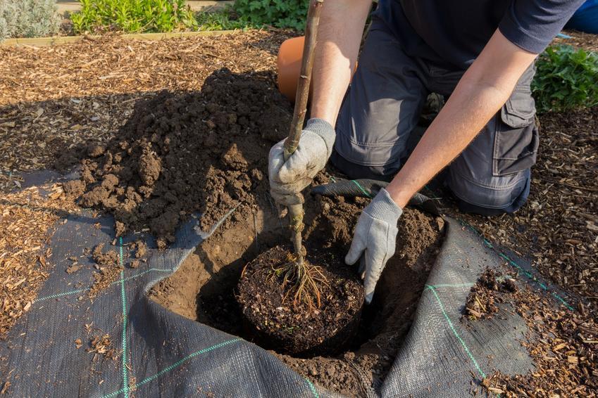 Sadzenie jabłoni w ziemi, czyli sadzonki jabłoni, cena, drzewka jabłoni