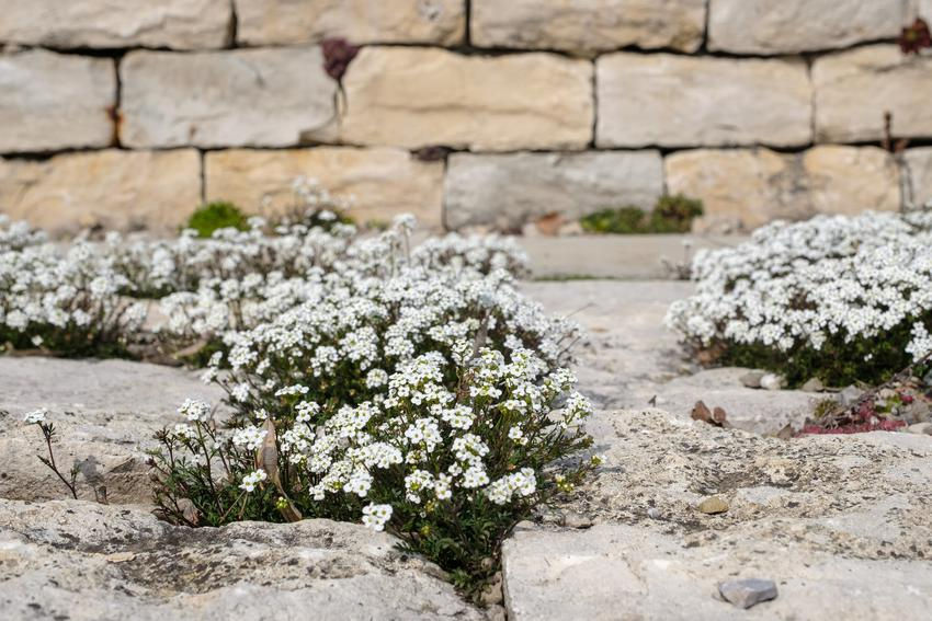 Roślina bylina karmnik ościsty, Sagina subulata w czasie kwitnienia i jej uprawa