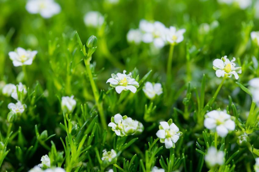 Roślina karmnik ościsty, Sagina subulata i zbliżenie na kwiaty, a także jej uprawa i pielęgnacja