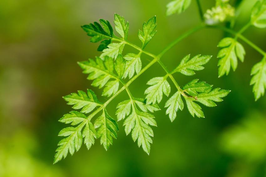 Trybula, Anthriscus cerefolium i zbliżenie na jej liście, a także jako przyprawa w kuchni