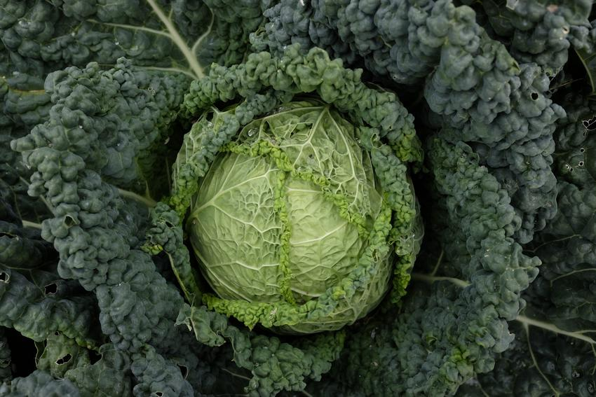 Kapusta włoska, Brassica oleracea i jej główka w ogrodzie, a także uprawa i przepisy