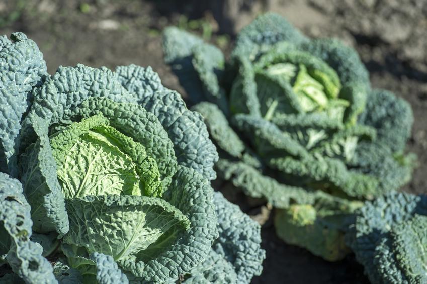 Kapusta włoska, Brassica oleracea rosnąca w ogrodzie, a także jej uprawa i przepisy z kapusty