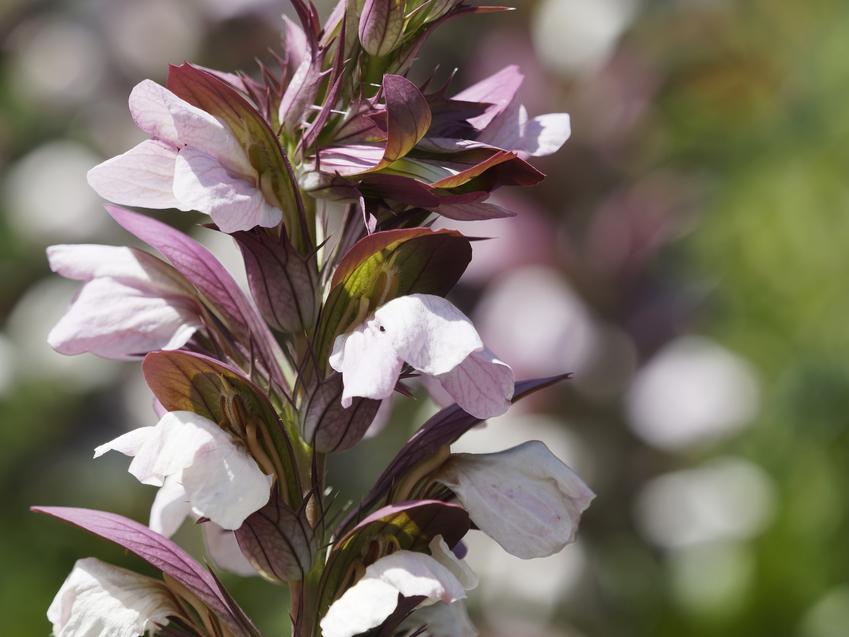 Roślina akant, Acanthus i zbliżenie na jej kwiaty, a także uprawa i pielęgnacja