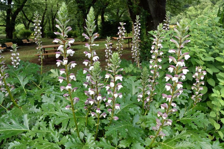 Roślina akant, Acanthus w czasie kwitnienia w ogrodzie, a także jej wymagania i uprawa