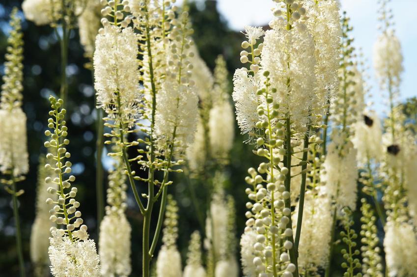 Pluskwica groniasta, Cimicifuga racemosa i zbliżenie na kwiat, a także uprawa i zastosowanie