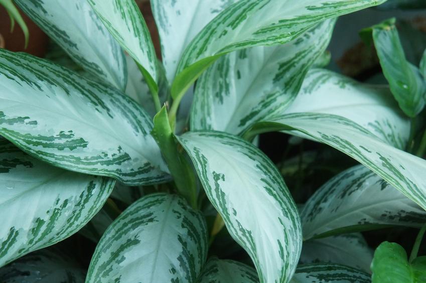 Kwiat aglaonema, Aglaonema Schott i zbliżenie na liście, a także uprawa i pielęgnacja