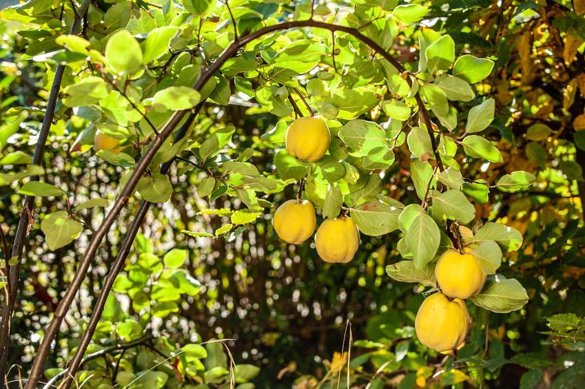 Owoce pigwy w ogrodzie na drzewie, a także sadzonki pigwy i ich sprzedaż w sklepie internetowym