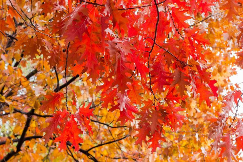 Dąb czerwony, Quercus rubra, a także opis drzewa, uprawa i pielęgnacja