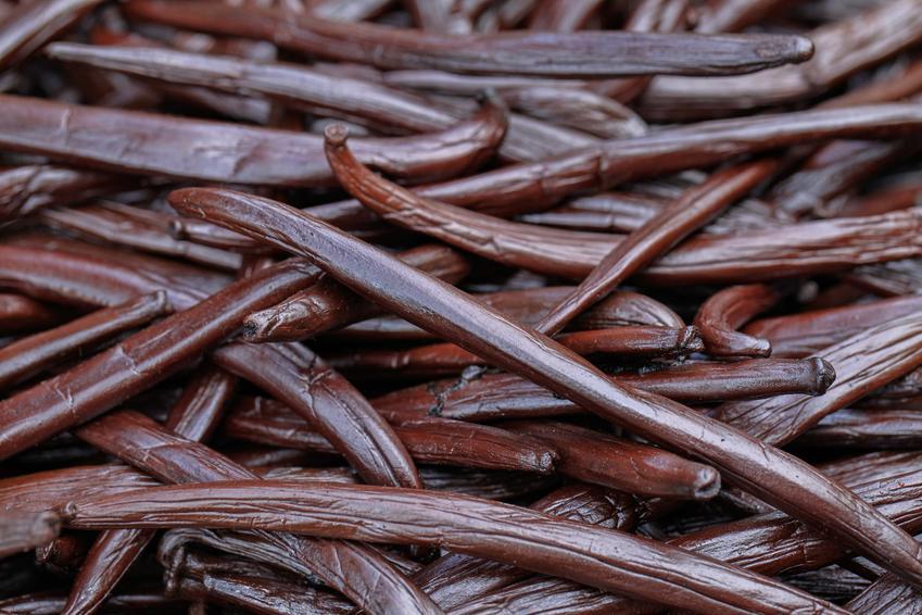 Laski wanilii, a także wanilia, Vanilla Mill. oraz jej uprawa i zastosowanie jako przyprawa