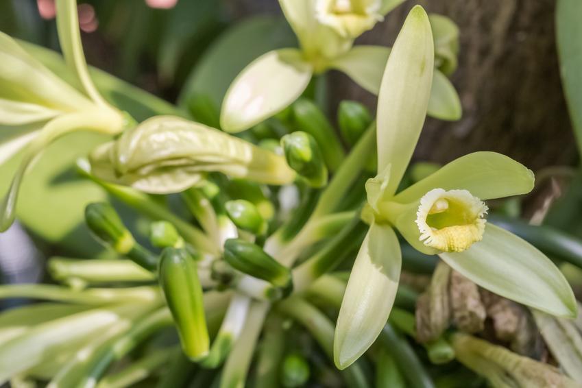 Roślina wanilia, Vanilla Mill. w czasie kwitnienia, a także jej zastosowanie