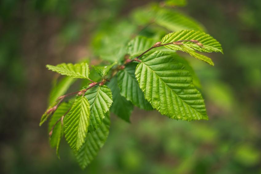 Drzewo buk zwyczajny, Fagus sylvatica i zbliżenie na liście, a także uprawa i pielęgnacja
