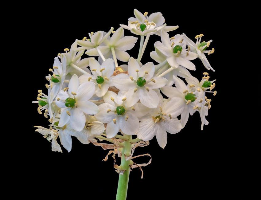 Kwiat śniedek arabski na czarnym tle, a także jego uprawa i pielęgnacja