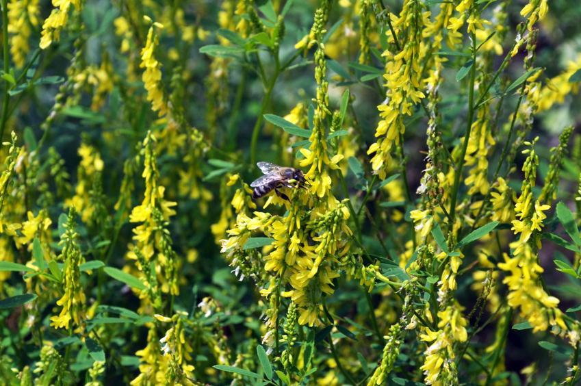 Roślina nostrzyk, Melilotus w czasie kwitnienia, a także zastosowanie i uprawa