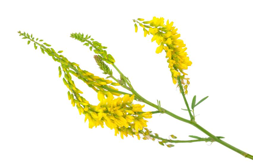 Kwiat nostrzyk, Melilotus na białym tle, a także jego nasiona, zastosowanie i pielęgnacja