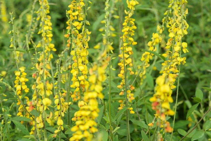 Roślina nostrzyk żółty, Melilotus officinalis w czasie kwitnienia, a także działanie i zastosowanie