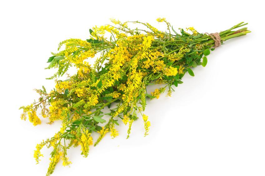 Kwiat nostrzyk żółty, Melilotus officinalis na białym tle, a także zastosowanie i właściwości lecznicze