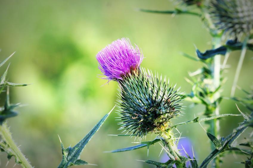 Kwiat oset, Carduus w czasie kwitnienia, a także charakterystyka rośliny i opis