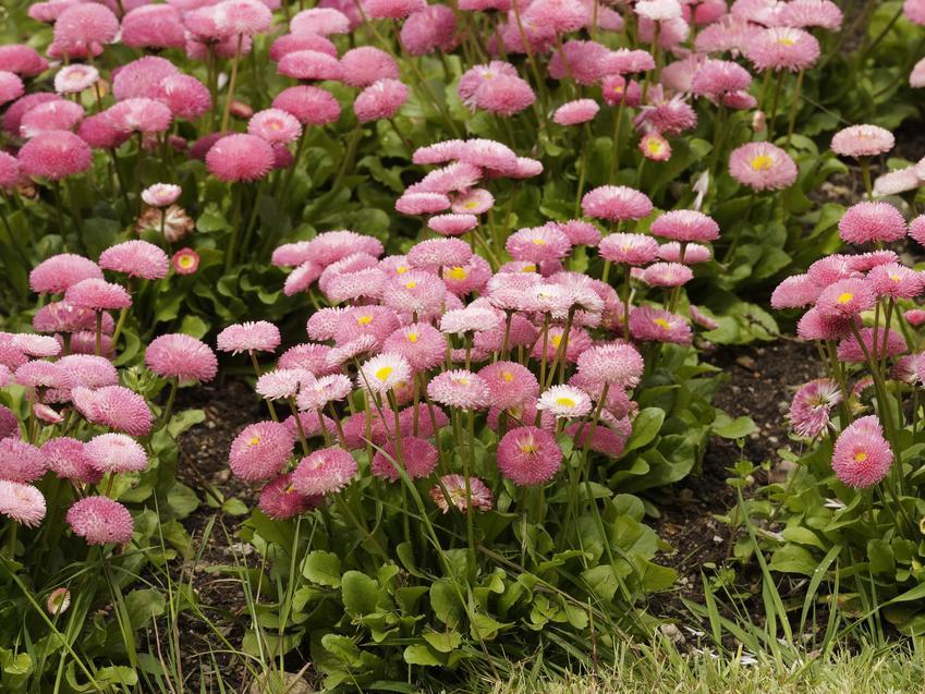 Różowe stokrotki w ogrodzie, a także stokrotka pospolita, Bellis perennis i informacje