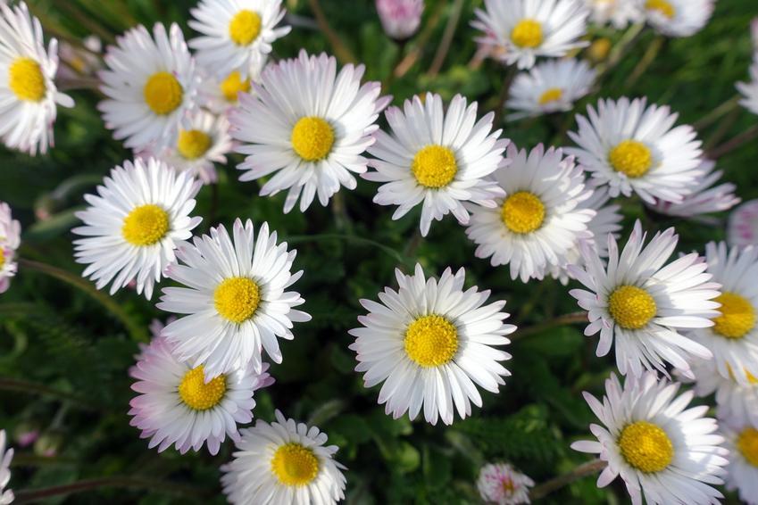 Stokrotki w czasie kwitnienia, a także stokrotka pospolita, Bellis perennis i jej uprawa